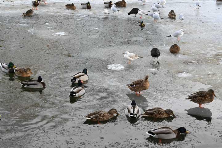 Fåglar som befinner sig på en halvt frusen sjö.